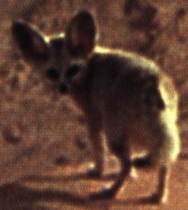 Picture of a Fennec